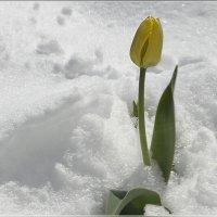 На апрельском снегу :: galina tihonova