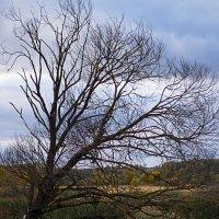 старое дерево :: Ирина Гракова