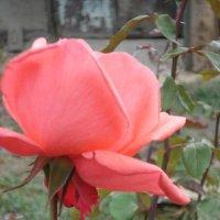 октябрьская роза :: Ольга Винокурова