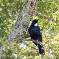 Туи - новоезеландская птичка :: Natalya секрет