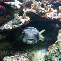 Длинношипая рыба-еж :: Елена Павлова (Смолова)