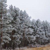 Деревья инеем укрыты, настало время холодов.... :: Анатолий Клепешнёв