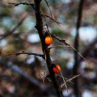 Поздняя ягода ... :: Damir Si