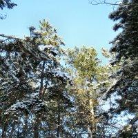 Зима,сосны и небо... :: Тамара (st.tamara)