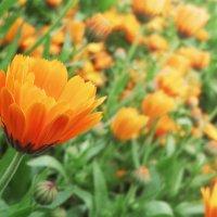 Цветы :: Михаил Вайсман