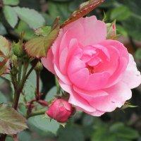 Что шепчут розы по утру?.... :: Ирина
