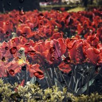 "Из серии...""Цветы и дождь.""(Нидерланды). :: Александр Вивчарик"