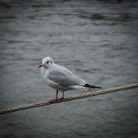 замерзая чайка :: Katerina Tighineanu