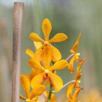 Орхидея :: Павел Хохлов