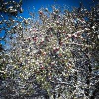 Яблука в снегу :: Володя Корнеюк