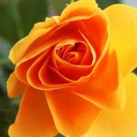 Нежная роза :: Damir Si
