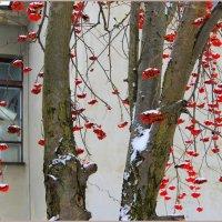 Наливная, спелая рябина, не грусти, краснея под окном. :: Валентина ツ ღ✿ღ