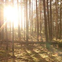 Рассвет в сосновом лесу) :: Егор