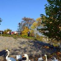 Лебединая осень :: Ольга