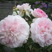 роза  Rosemoor. English Rose, Austin :: lenrouz