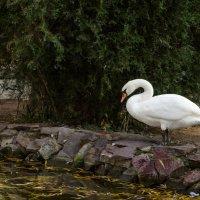 Лебедь у пруда :: Эхтирам Мамедов