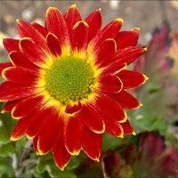 Последние цветы в году - хризантемы... :: Нина Корешкова
