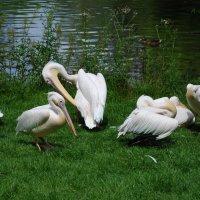 Пеликаны. :: Anna Gornostayeva