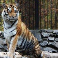 Амурский тигр :: Ольга Головина