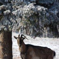 С наступающим годом козы! :: Ирина Приходько
