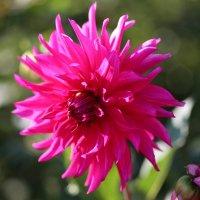 Розовое солнышко. :: Милена )))