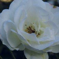 Белая роза. :: Валерьян