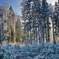 Морозный  лес. :: Валера39 Василевский.