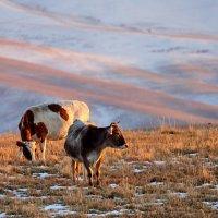 Коровье царство :: Сергей Рычков