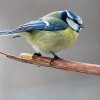 Синичка-лазоревка :: Gavrila68 -Женя
