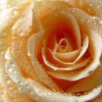 Росы роз/2 :: Дан Энта