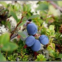 северная ягода-голубика :: Светлана Кажинская