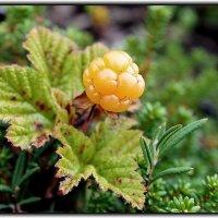 северная ягода-морошка :: Светлана Кажинская