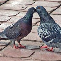 любовь и голуби :: Дмитрий Анцыферов