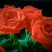 розы :: Алексей Бородин