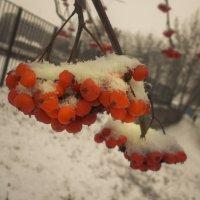 Рябина в снегу :: Александра Гай