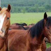 лошади.... :: Елена Козлова