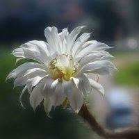 Цветение кактуса... :: *MIRA* **
