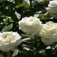 "Юрий Шатунов: ""Белые розы"" :: Дмитрий Конев"