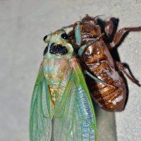 Новарожденная цикада :: Nina Streapan