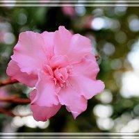 цветок олеандра :: Светлана Кажинская