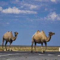 Осторожно!...Верблюды... :: Ирина Шарапова