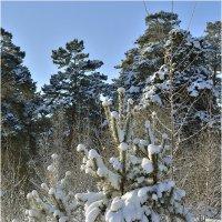 Маленькие елочки или сосенки :: Дмитрий Конев