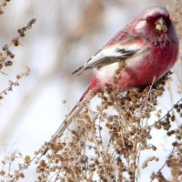 Урагус  (длиннохвостый снегирь) :: Геннадий Ячменев