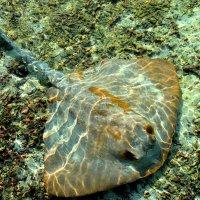 Guitarfish, Maldives :: Olga Chertanovskaya