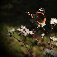 butterfly :: Dog Fanny