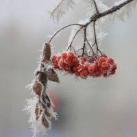 Зимняя рябина :: Ната Волга