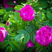 Нереальные розы в Бурятии :: Юлия Зориктуева
