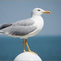 Чайка на шаре :: Swetlana V
