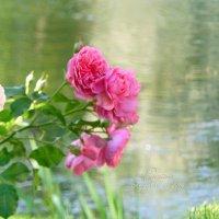 Цветущий куст розы :: Анастасия Белякова
