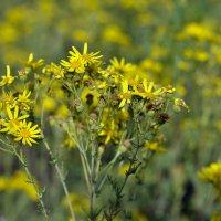 Жёлтое поле :: Дмитрий Конев